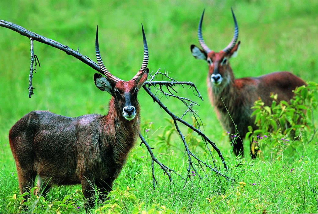 A pair of Water bucks in the Lake Nakuru National Park