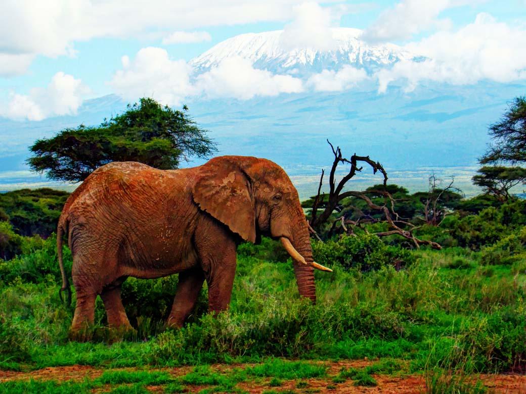 Amboseli National Park_Lone elephant against Kilimanjaro
