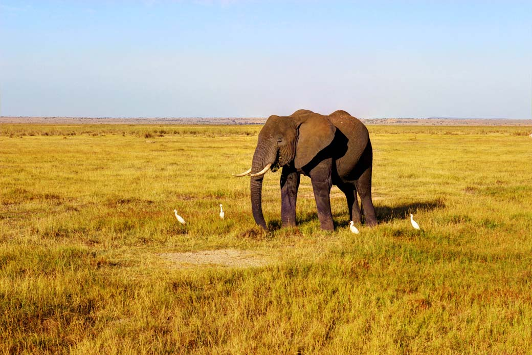 Amboseli National Park_Lone elephant