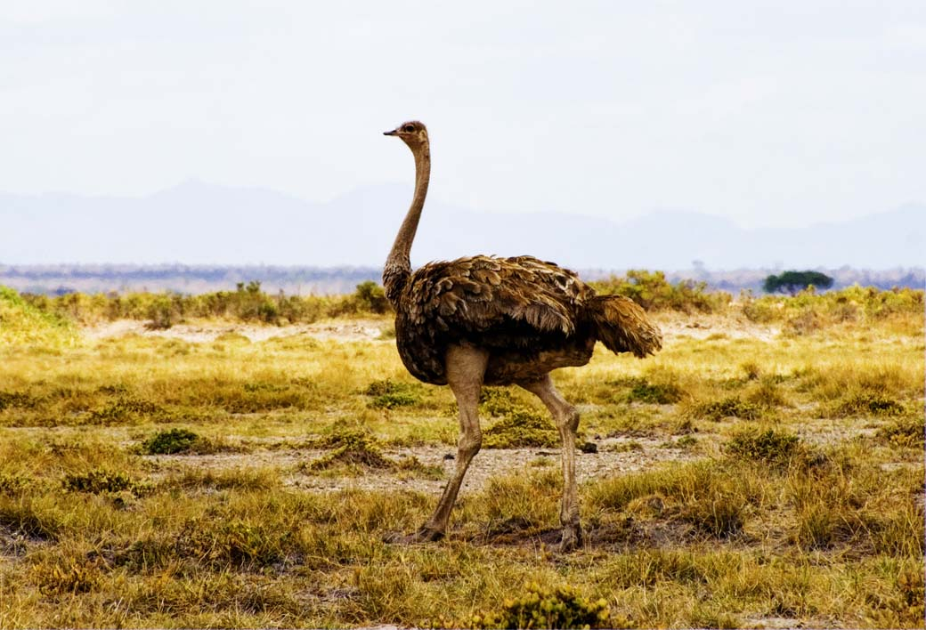 Amboseli National Park_Ostrich