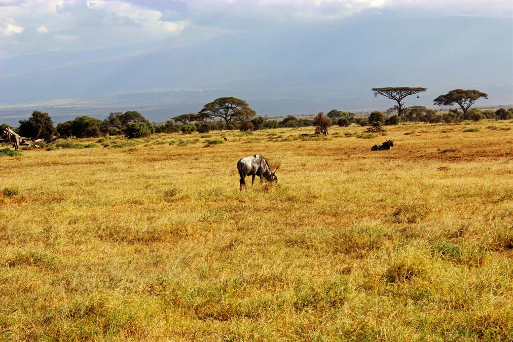 Amboseli National Park_Wildbeast