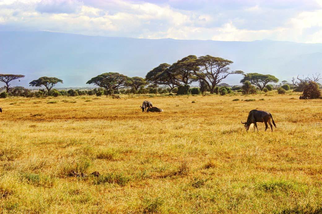 Amboseli National Park_Wildbeast2