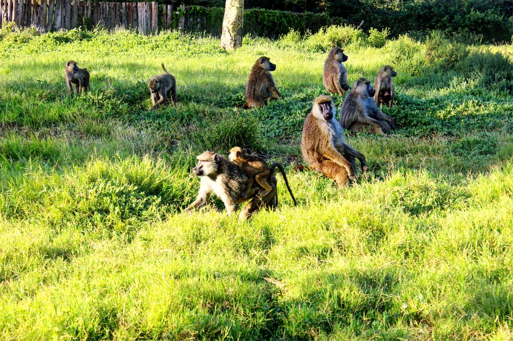 Amboseli National Park_baboons