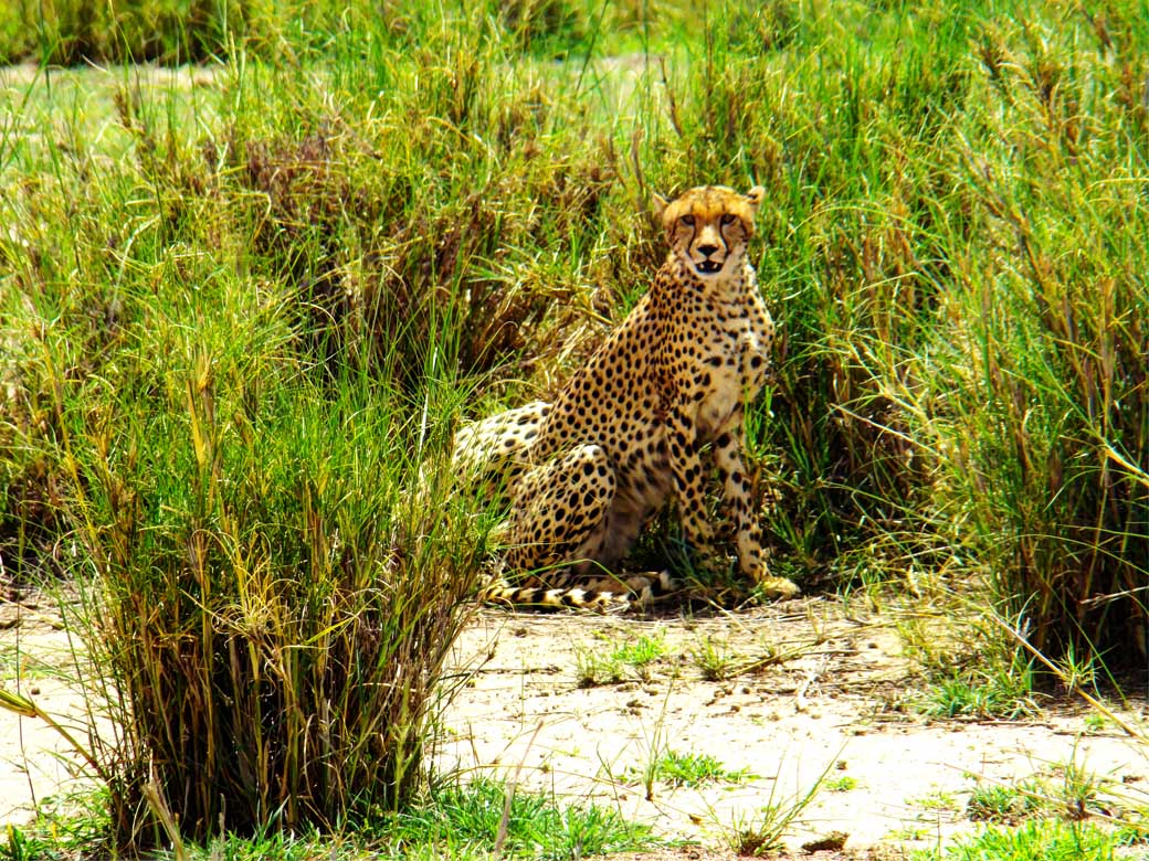 Amboseli National Park_cheetah