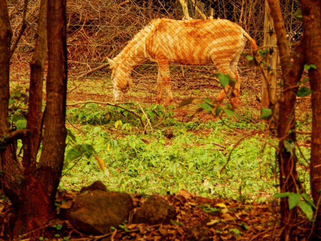 Nairobi Safari Walk_albino zebra
