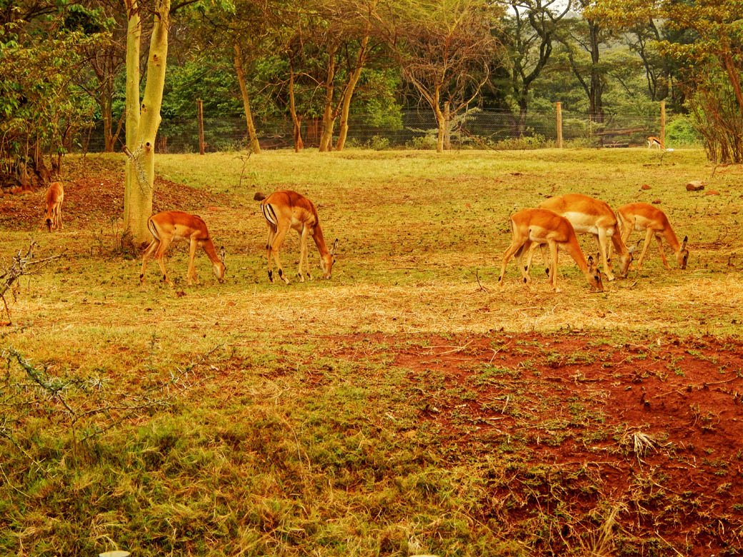 Nairobi Safari Walk_antelopes