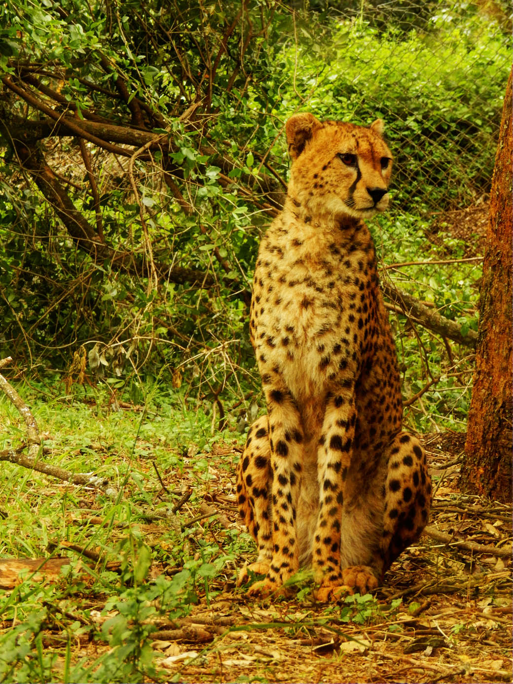 Nairobi Safari Walk_cheetah