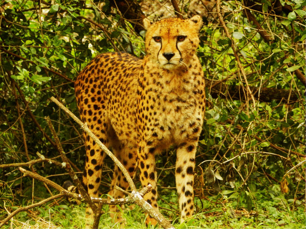 Nairobi Safari Walk_cheetah2
