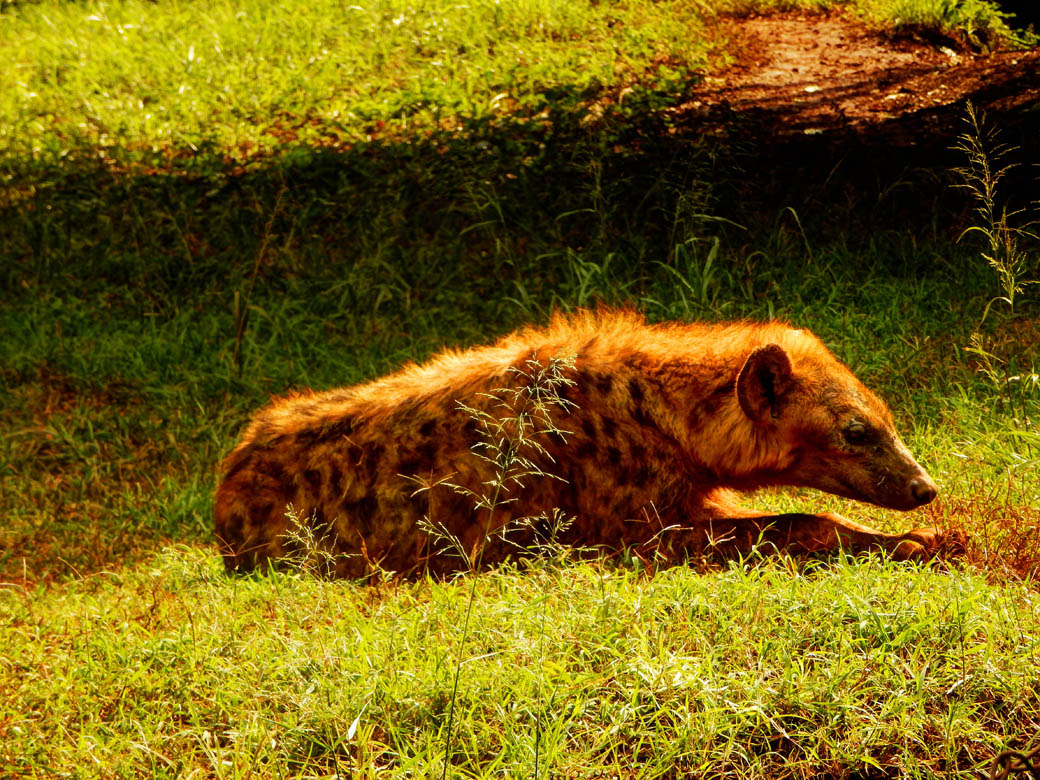 Nairobi Safari Walk_hyena chillin