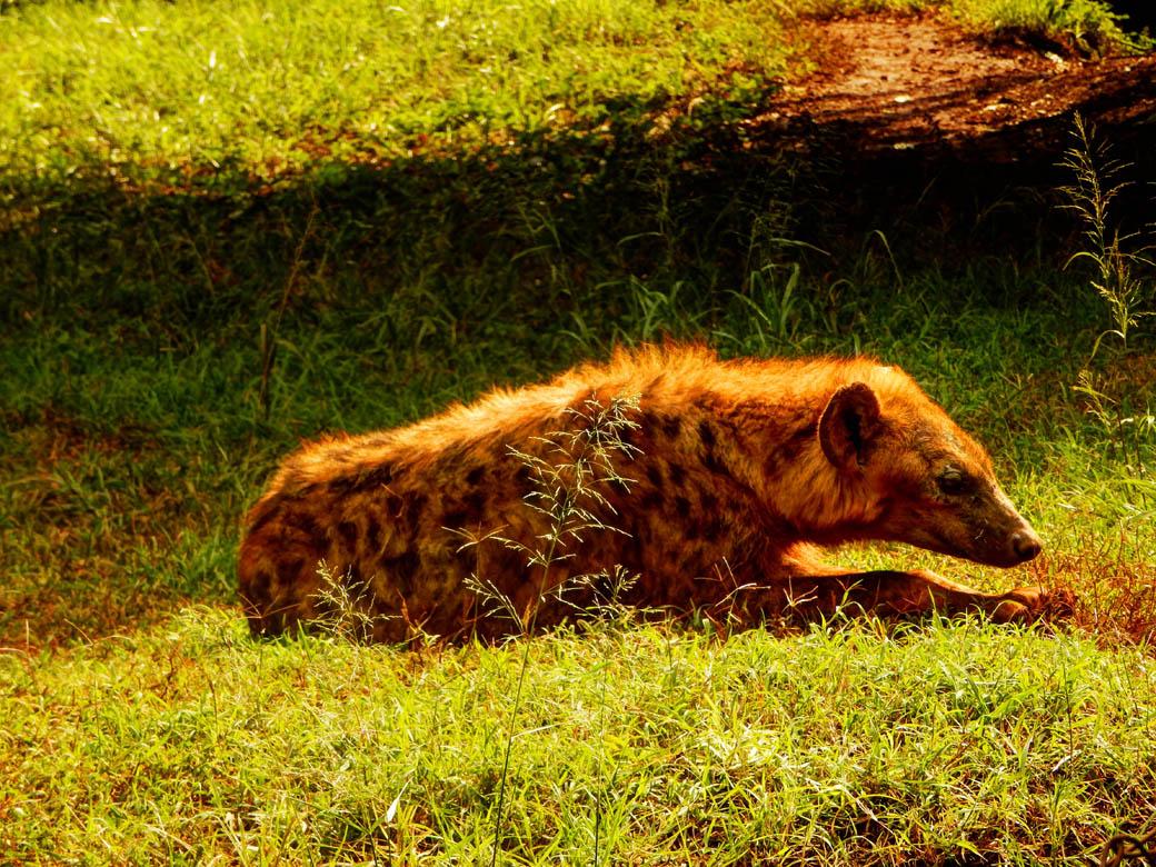 Nairobi Safari Walk_hyena chillin