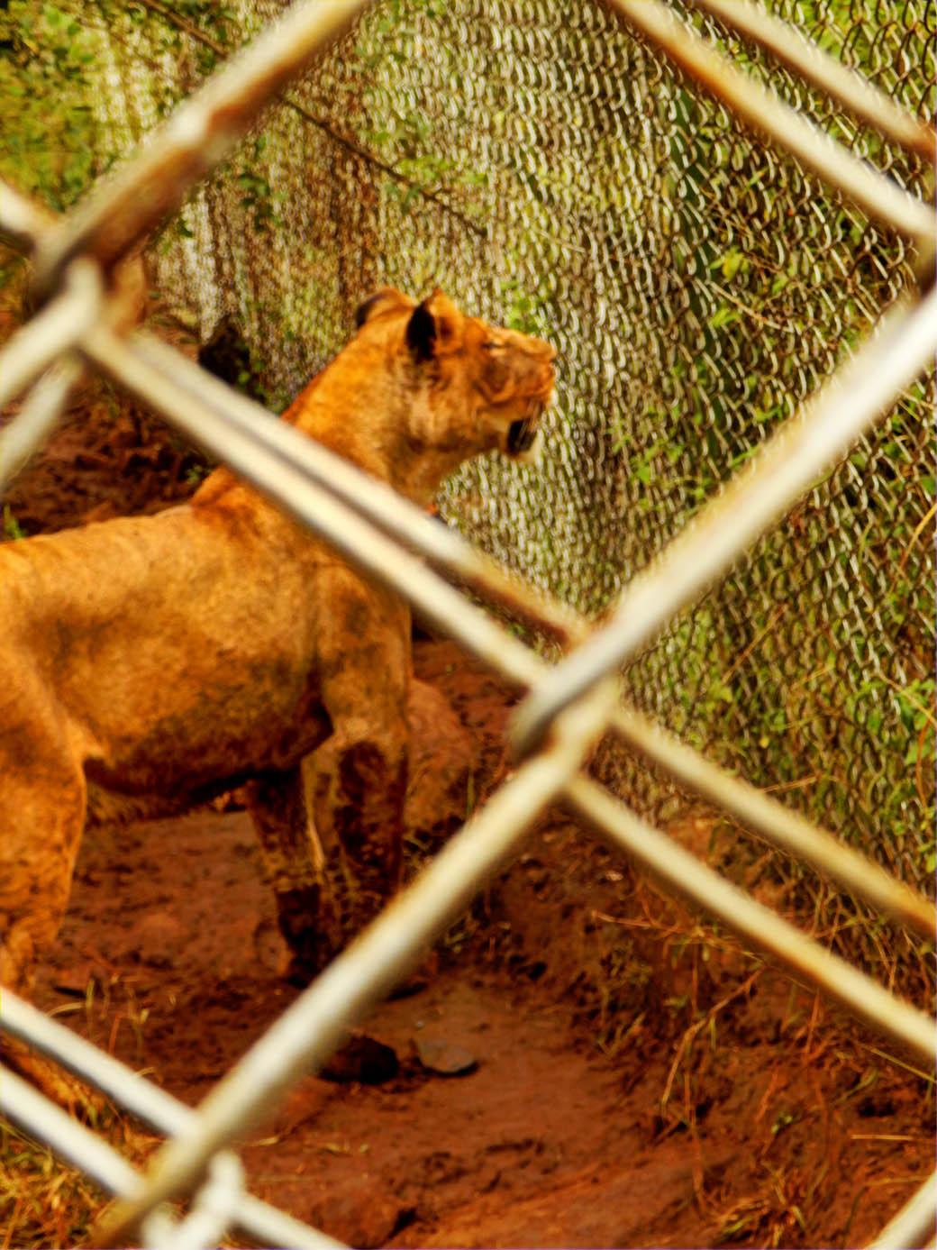 Nairobi Safari Walk_lions2