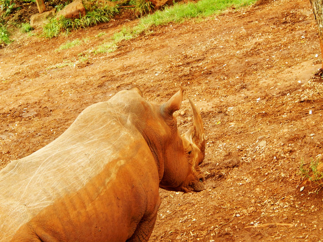 Nairobi Safari Walk_rhino3