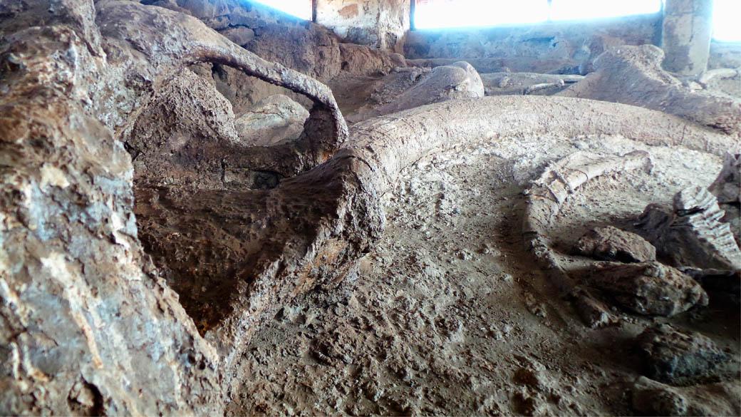 Elephant Fossil_Tusk and skull