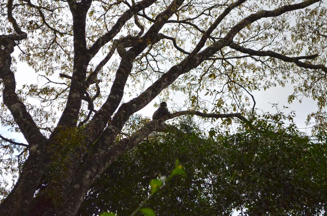 Oloolua Nature Trail_Monkey3