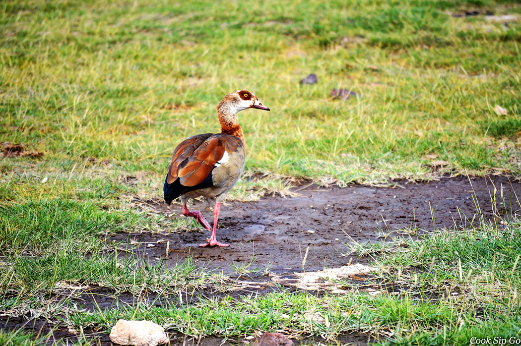 Birds of Amboseli National Park_Egyptian Goose
