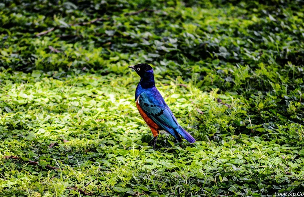 Birds of Amboseli National Park_Superb Starling