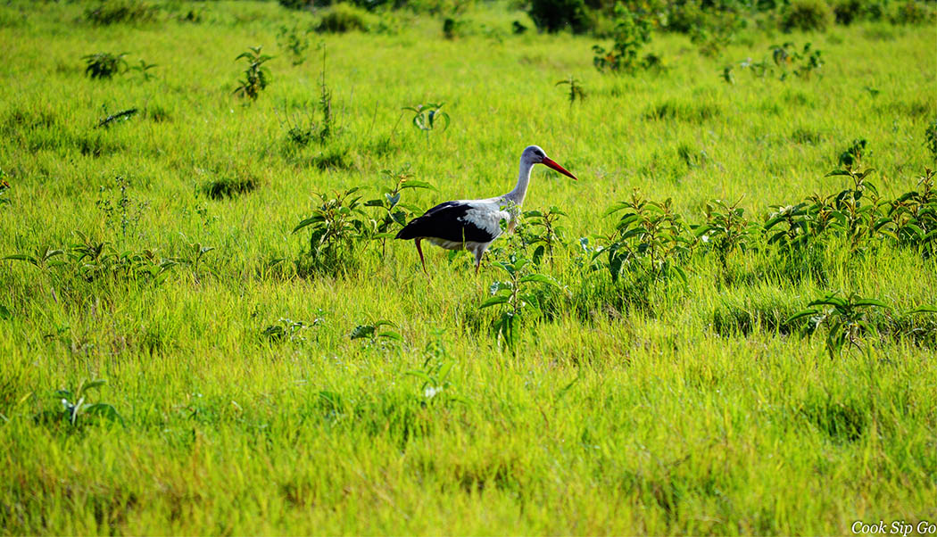 Birds of Amboseli National Park_Yellow billed stork