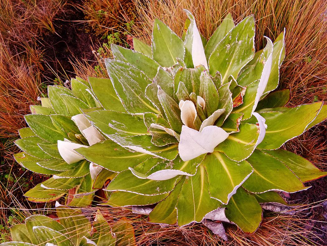 Mount Kenya_Flora 2