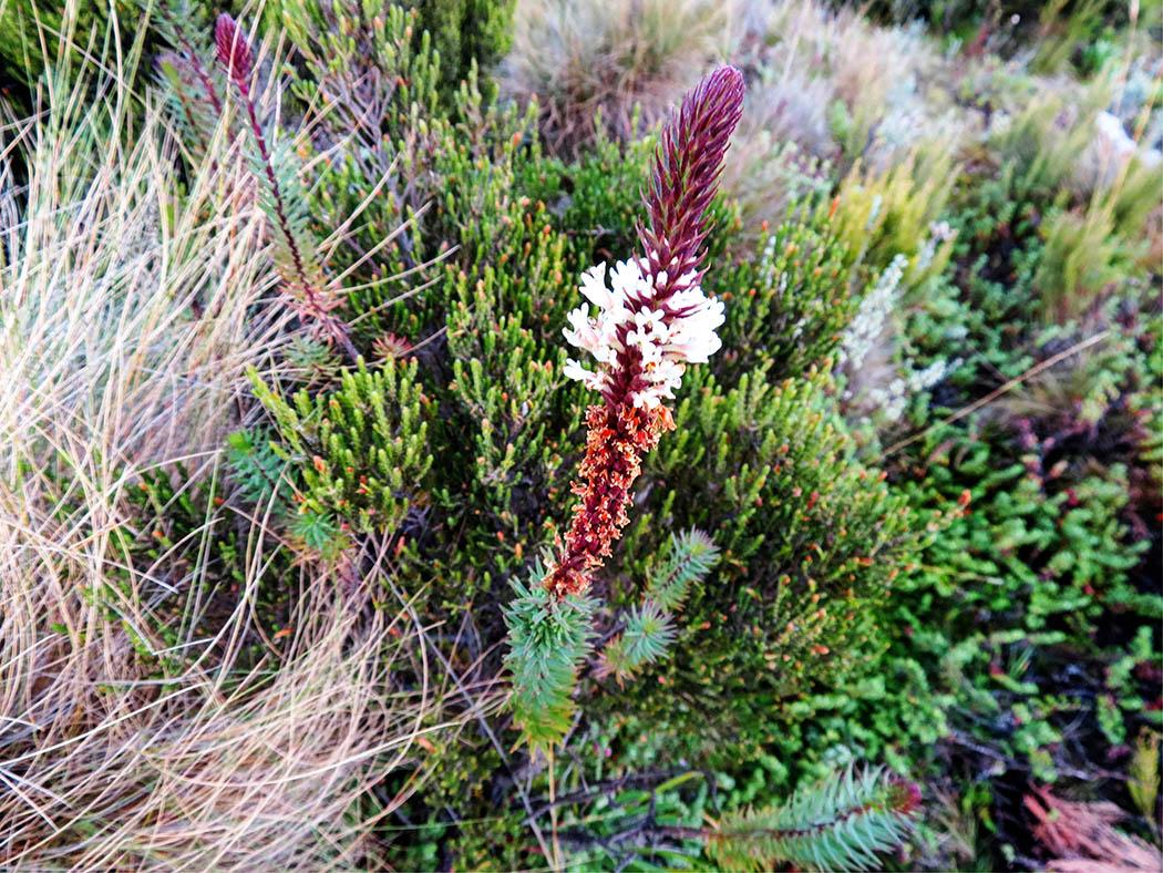 Mount Kenya_Flora 6