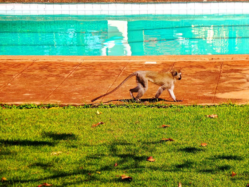 Unexpected Kenya day 1_Monkey