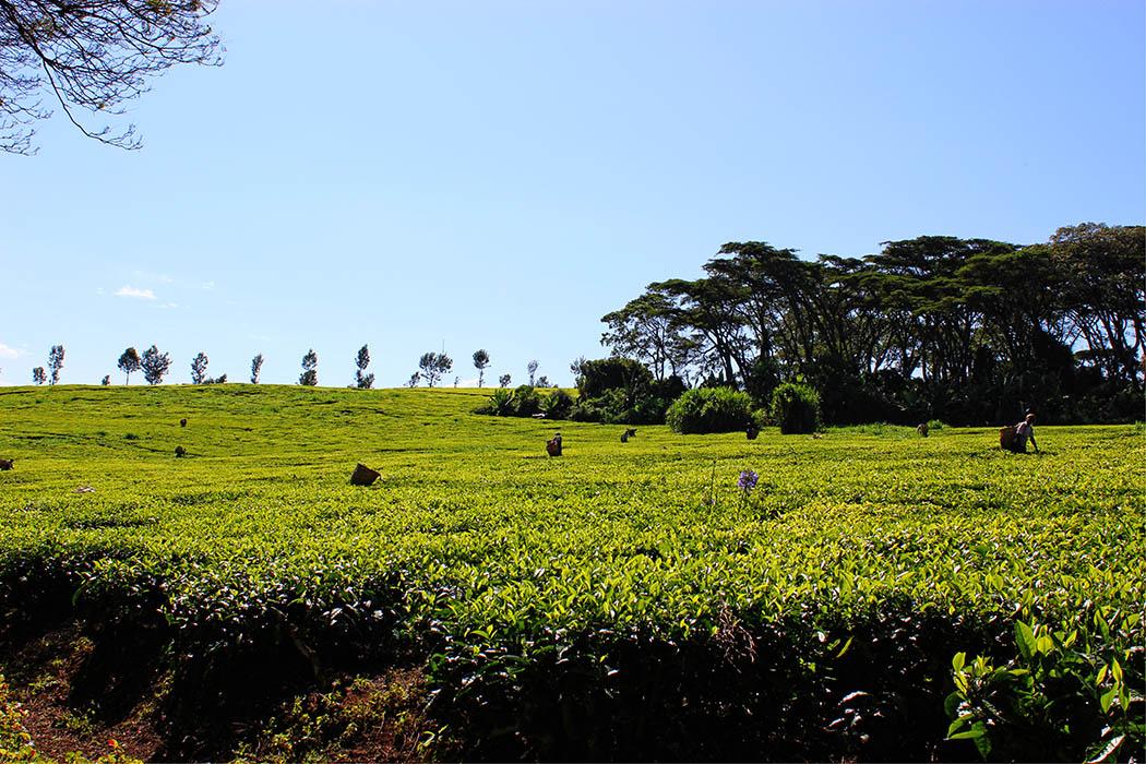 Unexpected Kenya_Kapsimotwa Gardens tea