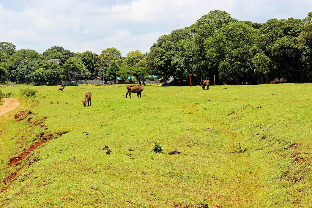 Mt Elgon National Park_Bushbuck grazing