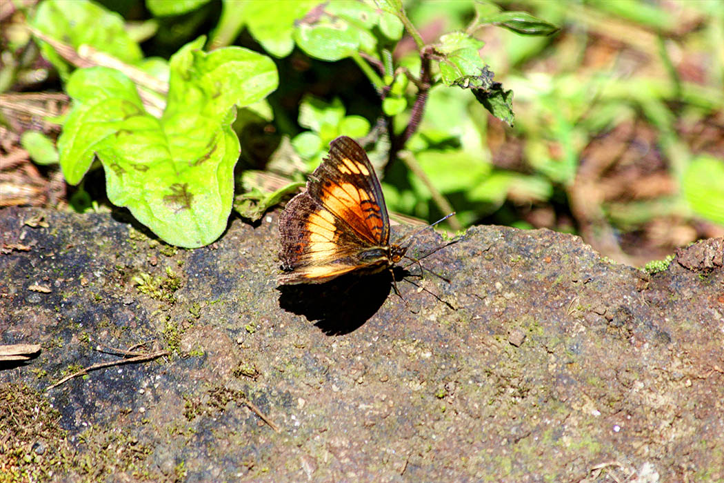 Mt Elgon National Park_Butterfly