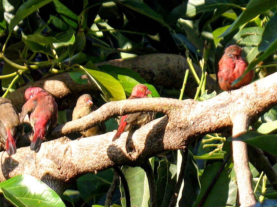 Wildlife in my backyard_robins 2