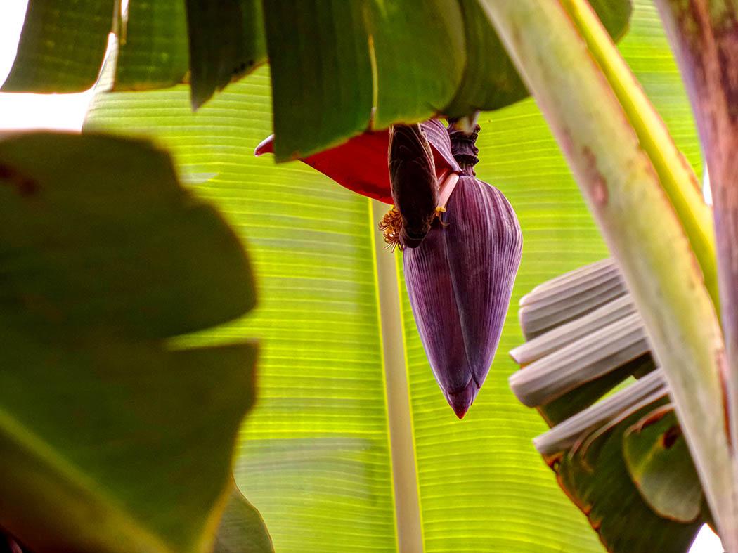 Wildlifein my backyard_humming bird on banana 2