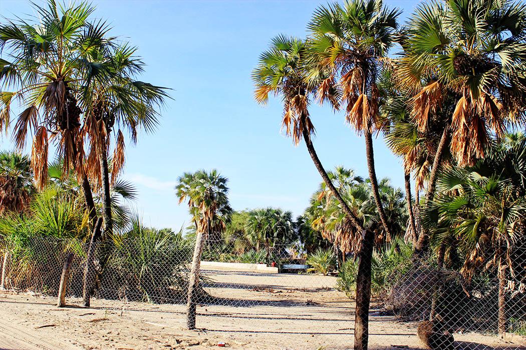 Eliye Springs Resort_Palm trees