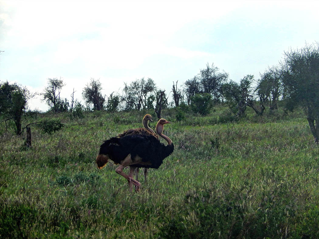 Taita Hills Wildlife Sanctuary_ostriches