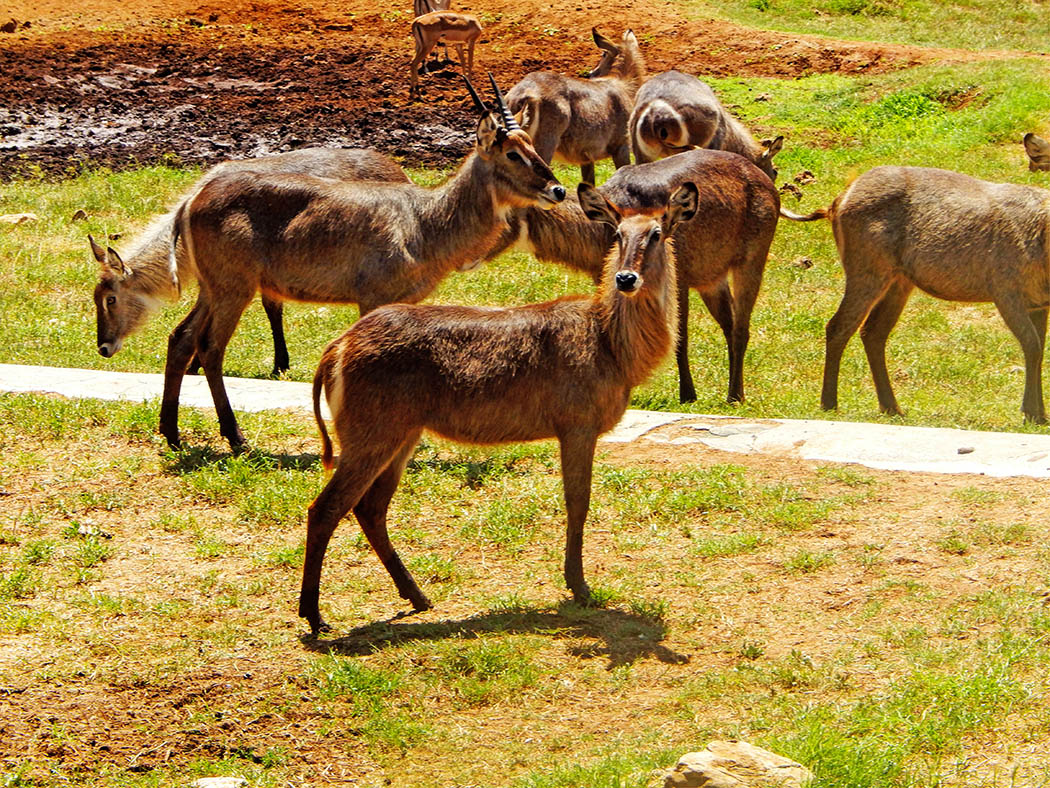 Taita Hills Wildlife Sanctuary_waterbucks
