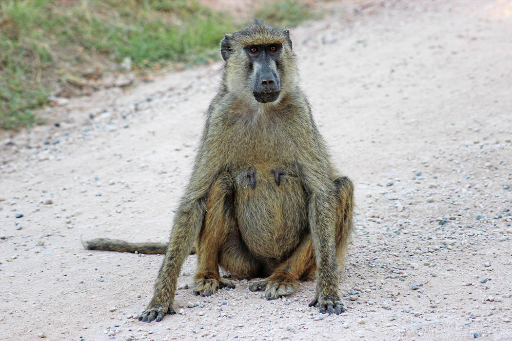 Amboseli National Park Baboon