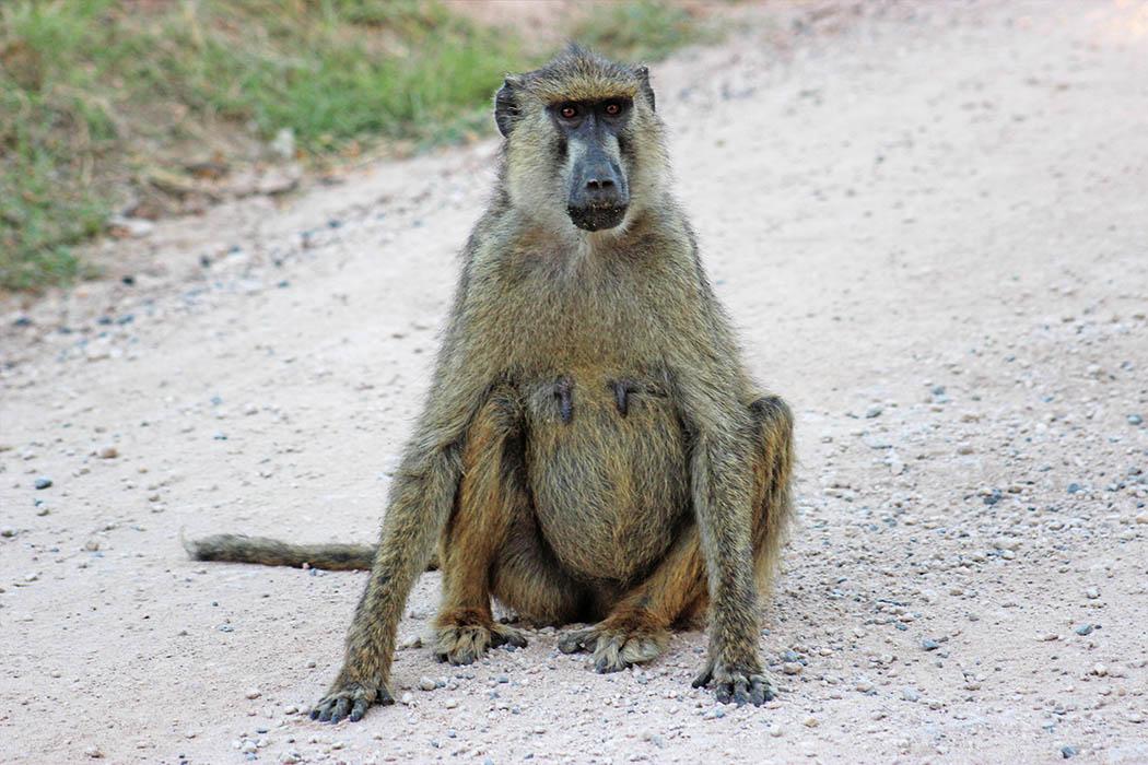 Amboseli National Park Baboon
