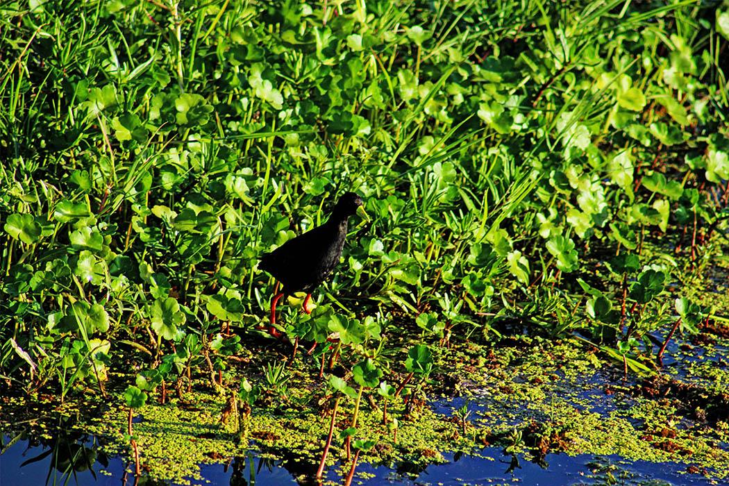 Amboseli National Park Black Crake