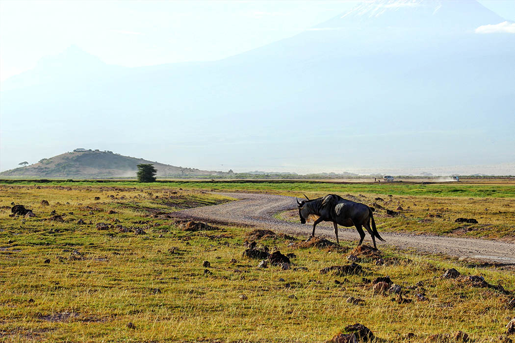 Amboseli National Park Gnu with Kilimanjaro in background