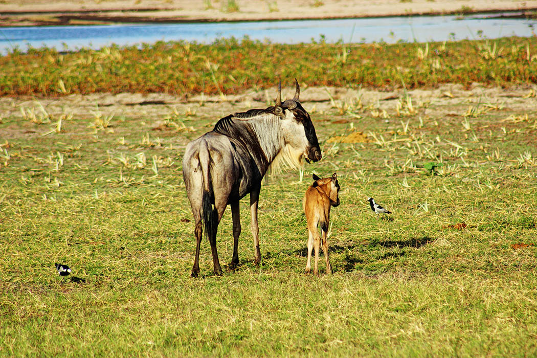 Amboseli National Park Gnu with calf Blacksmith lapwing_adj