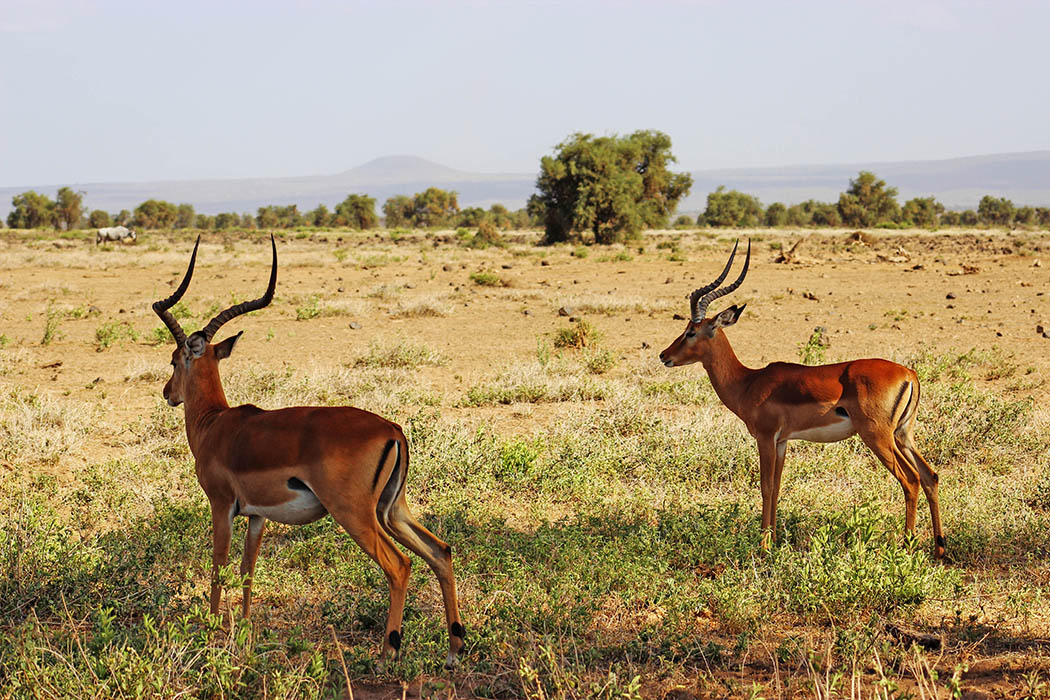 Amboseli National Park Impala