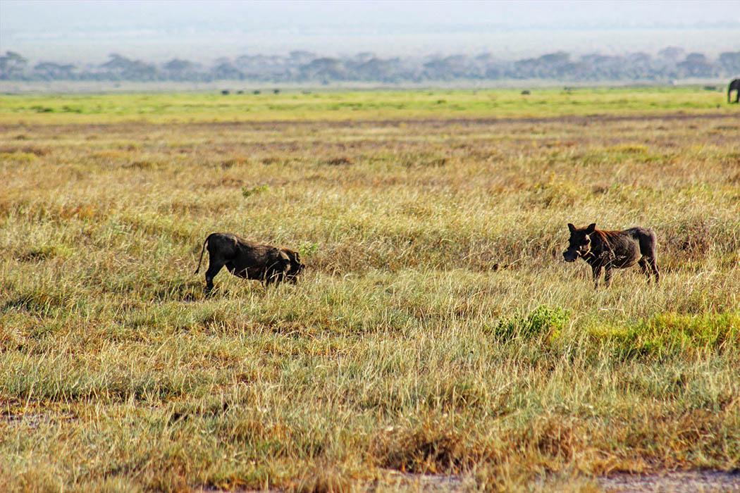 Amboseli National Park Warthog