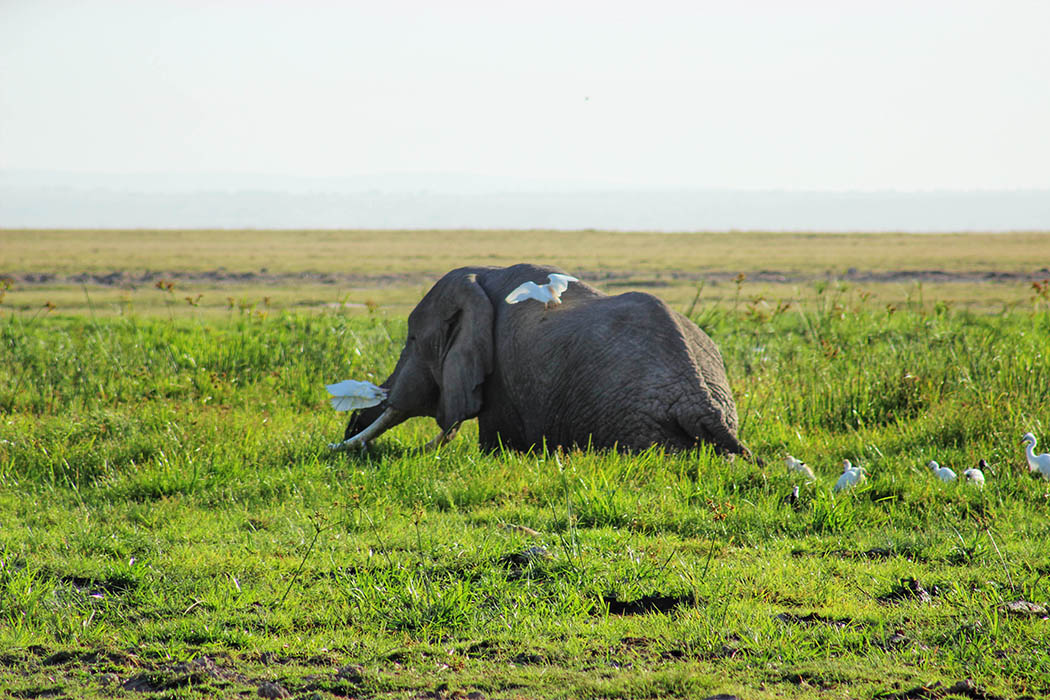 Amboseli National Park elephant in swamp
