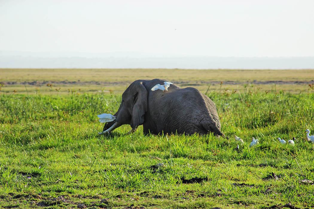 Amboseli National Park elephant in swamp