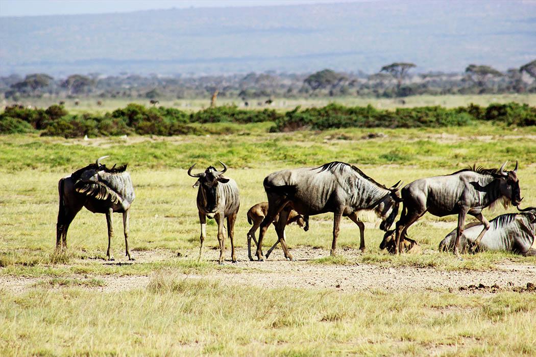 Amboseli National Park_Gnu herd