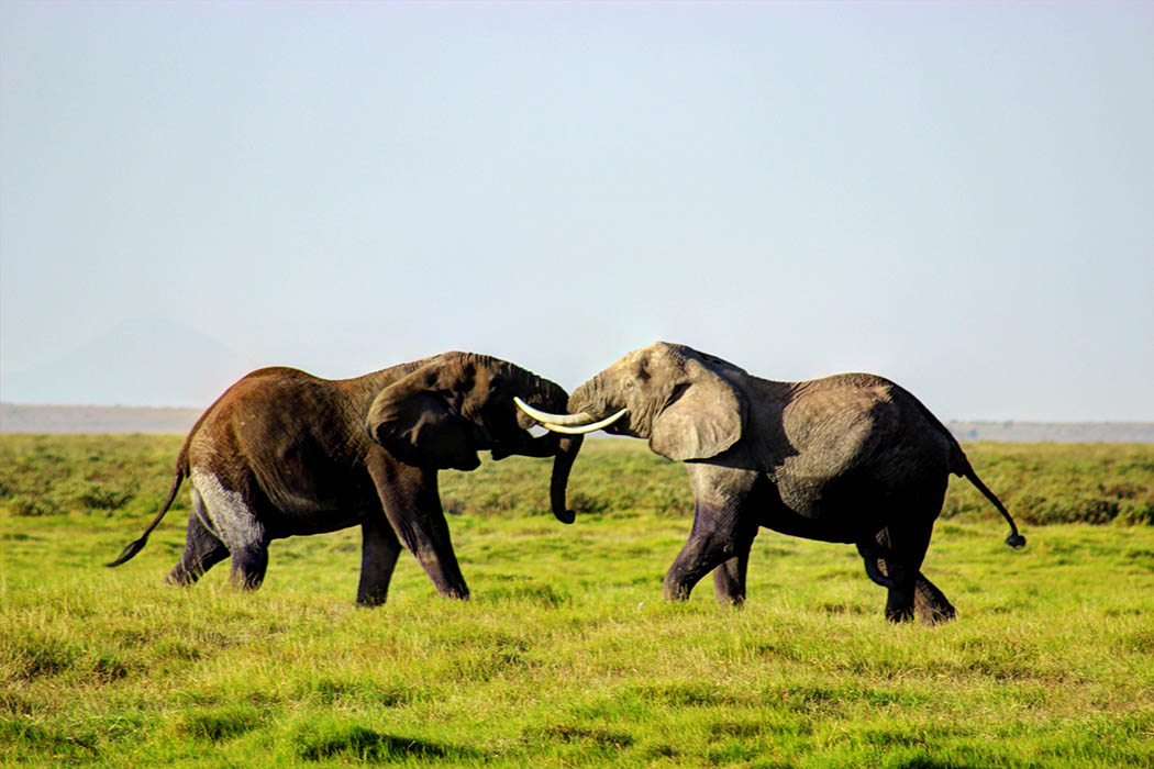 Elephants of Amboseli bulls fighting