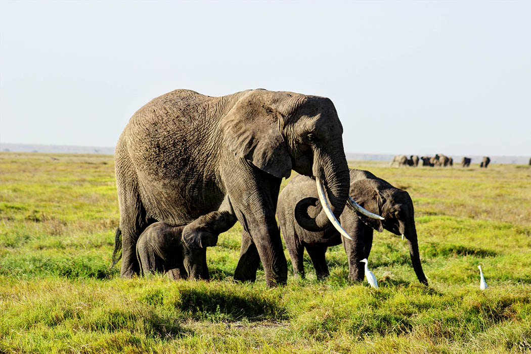 Elephants of Amboseli calf feeding1