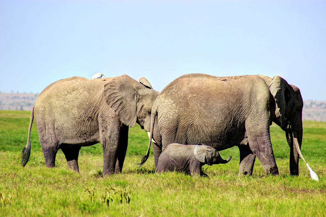 Elephants of Amboseli calf