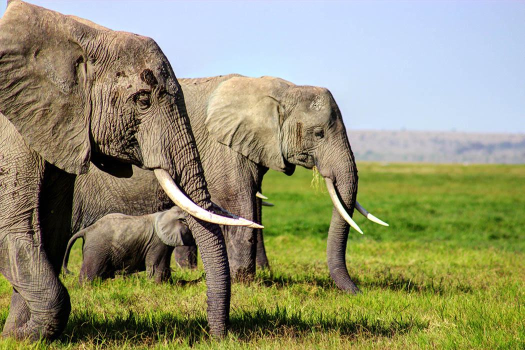Elephants of Amboseli calf2
