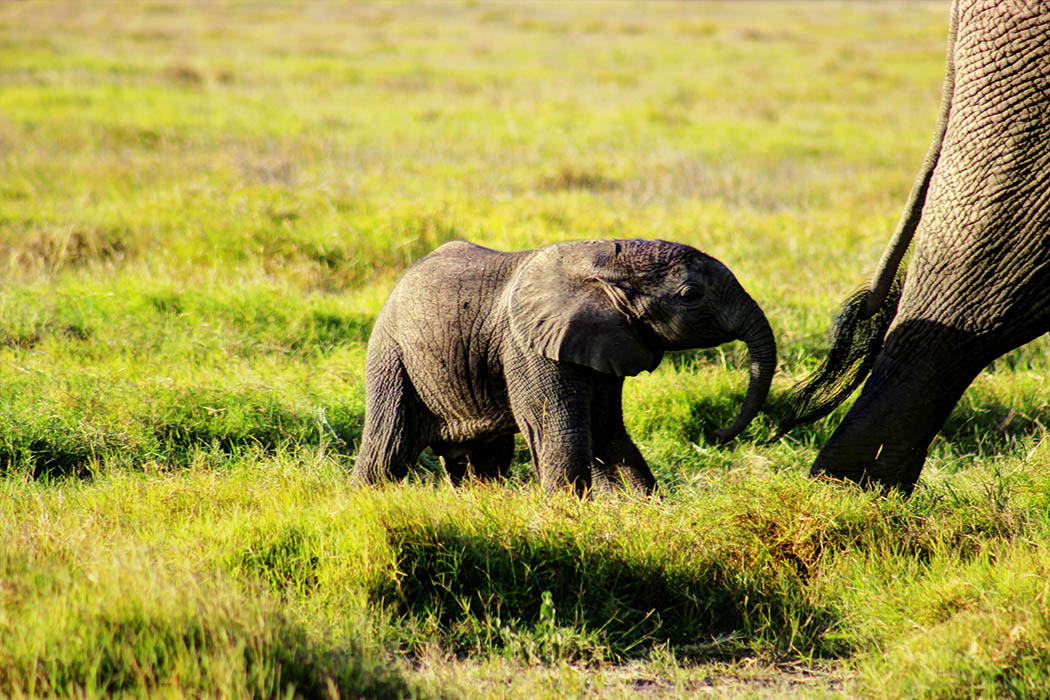 Elephants of Amboseli calf3
