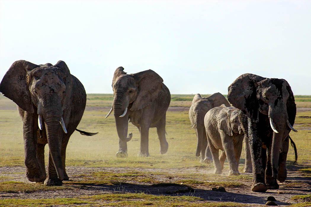 Elephants of Amboseli dust