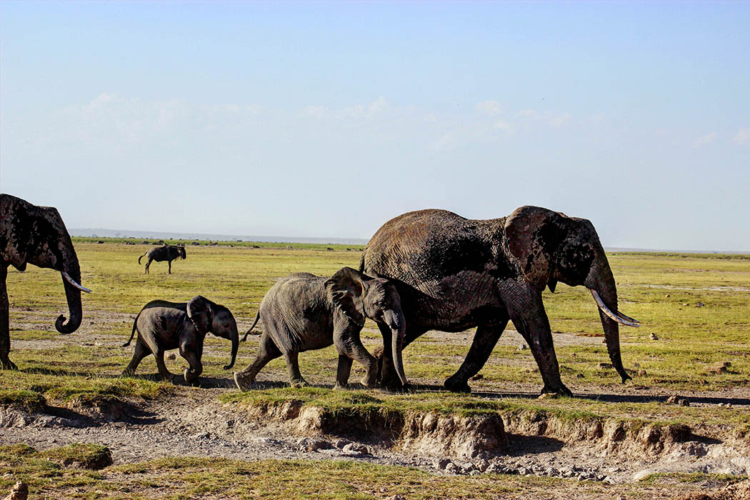 Elephants of Amboseli family2
