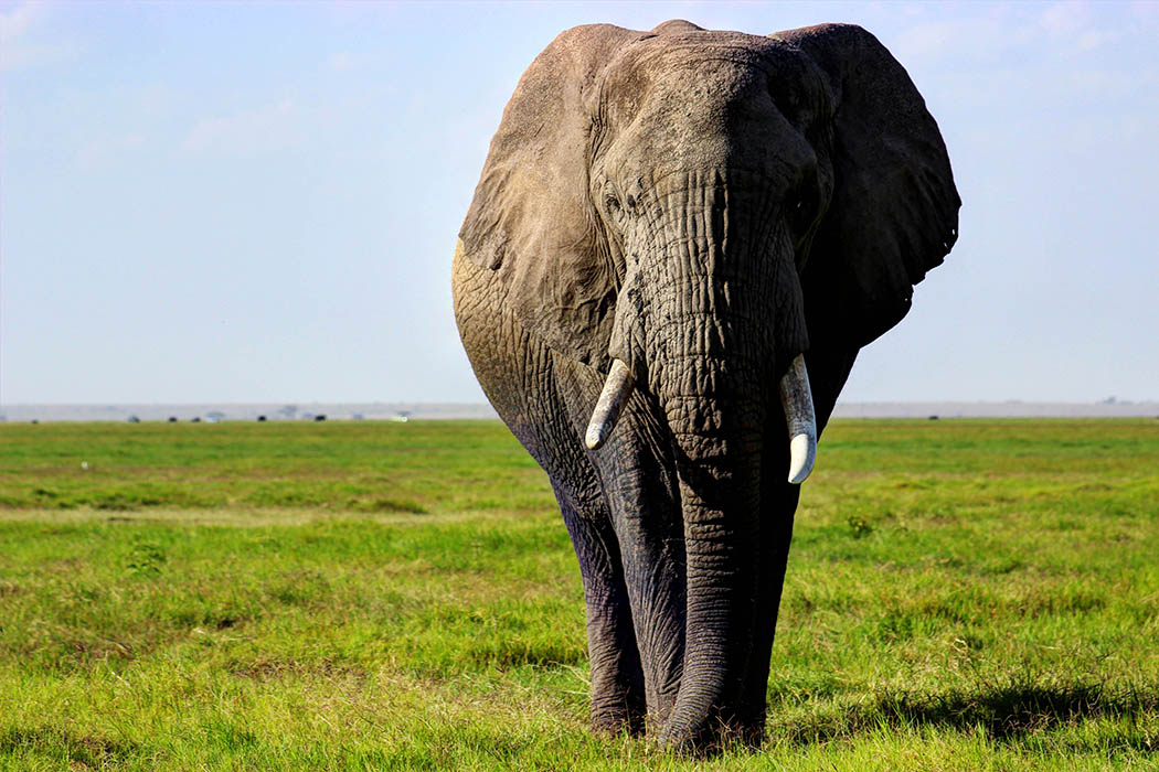 Elephants of Amboseli lone male